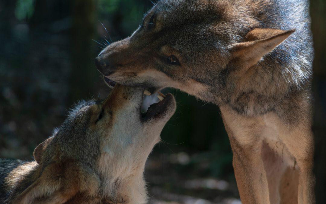 El lobo gozará de Protección Especial frente a la caza, la tórtola europea, no.