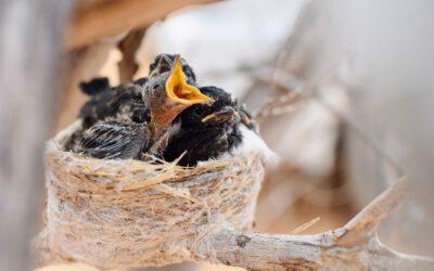 Aves caídas del nido ¿cómo actuar?